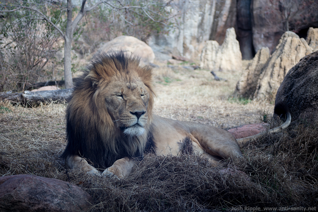 Tired Lion